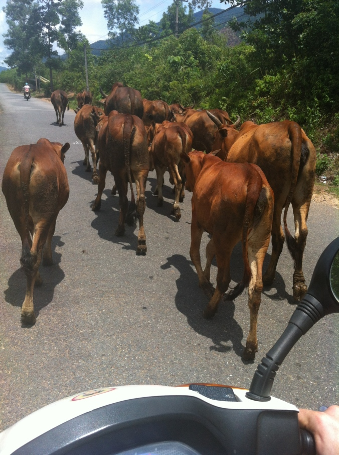 Running into some traffic on the road.. cows!